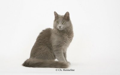 Ciastek the Grey, male