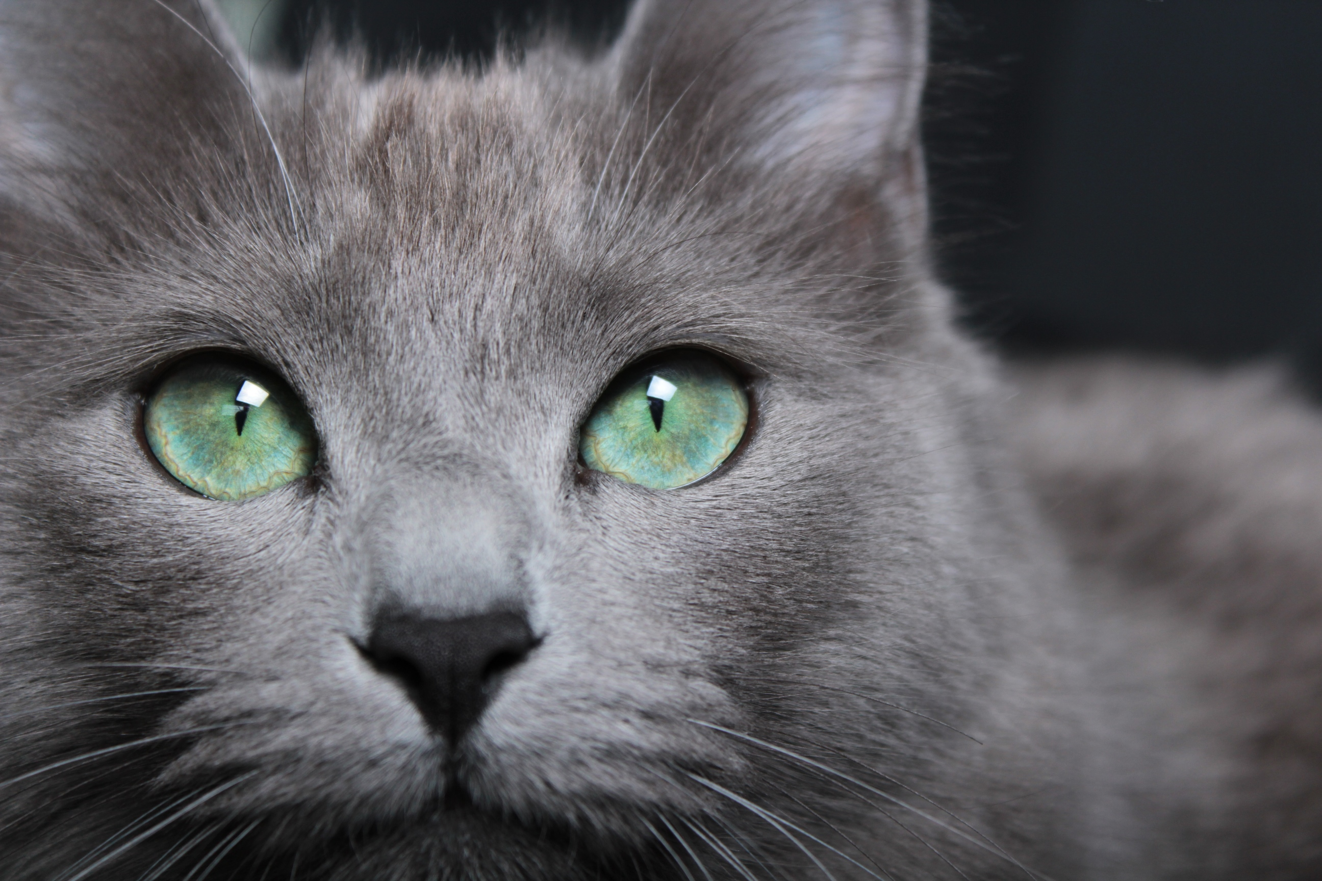 Issie ogen mini, femelle