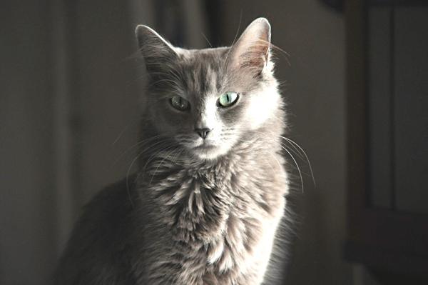 Olrun  Azadeh, femelle Nebelung